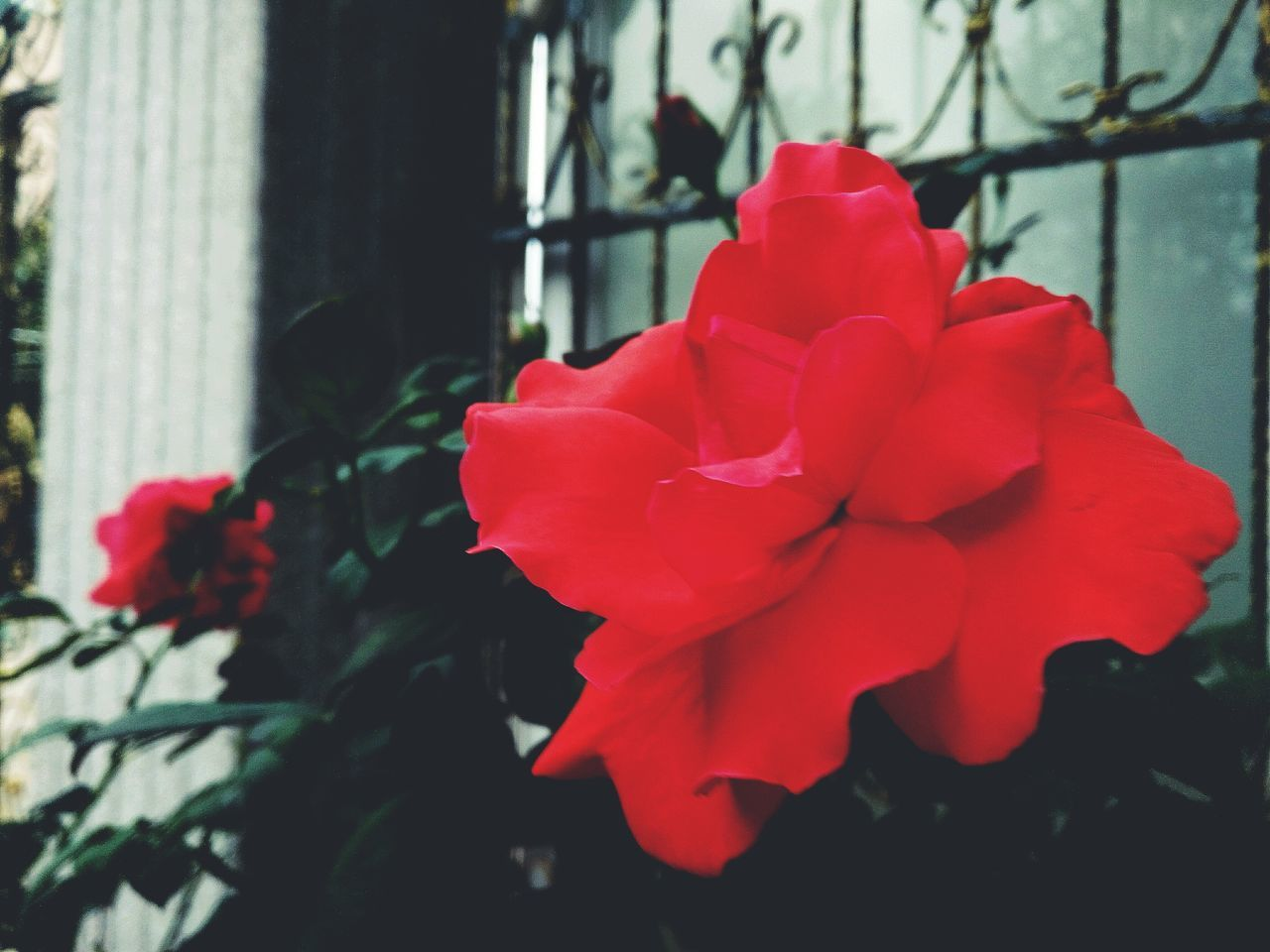flower, petal, fragility, beauty in nature, flower head, rose - flower, nature, red, freshness, growth, blooming, close-up, day, plant, no people, outdoors, hibiscus