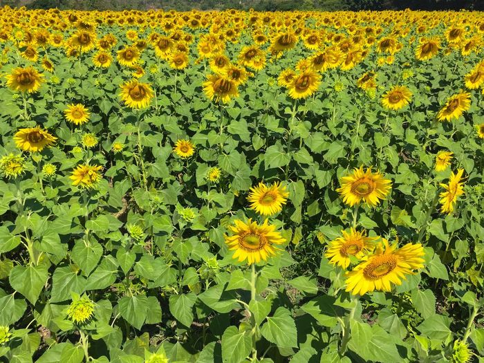 Traveling Home For The Holidays Flower Yellow Beauty In Nature Fragility Growth Nature Freshness Plant Petal Flower Head Field Black-eyed Susan Springtime Blooming No People Flowerbed Outdoors Sunflower Day Lopburi Thailand