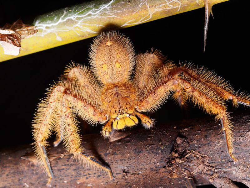 Heteropoda davidbowie Huntsman spider Hairy  Scary Nature Huntsman Malaysia National Park Taman Negara Spider Hetetopoda Davidbowie David Bowie Biology Science Close-up Arachnid