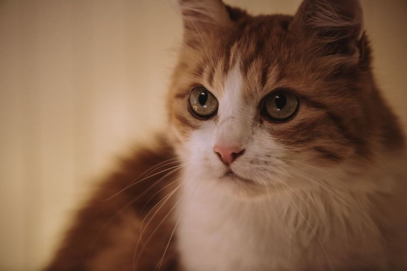 Cat One Animal Animal Themes Pets Domestic Cat Looking At Camera Domestic Animals Indoors  Mammal Whisker Focus On Foreground Close-up Portrait