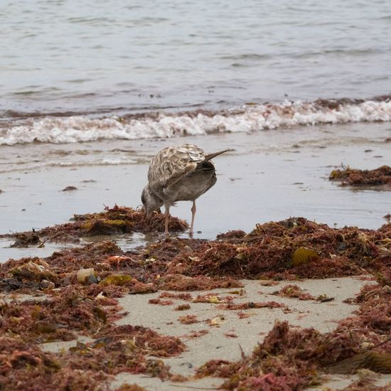 A Little Bird pecking at Crabs at the Watersedge by the Sea