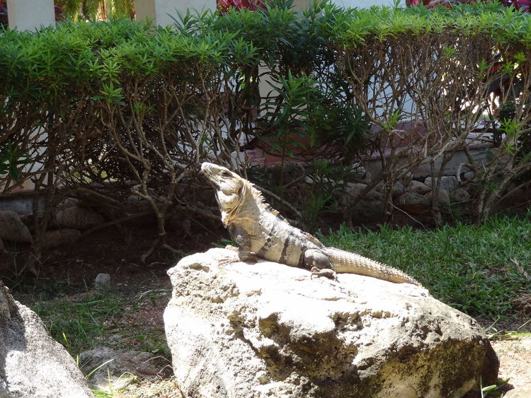 Animal Themes Animals Outdoors Nature Landscape Leguan Mexico Stone Vacation Beauty In Nature