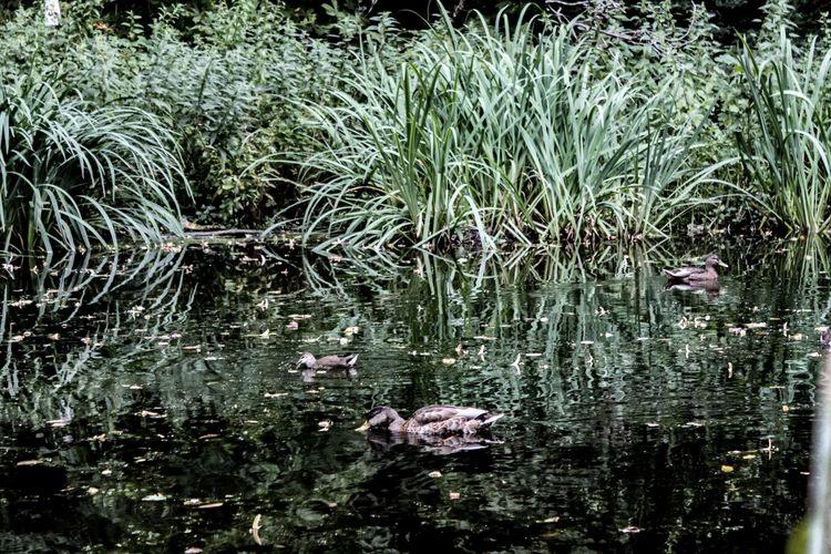 Ducks, August
