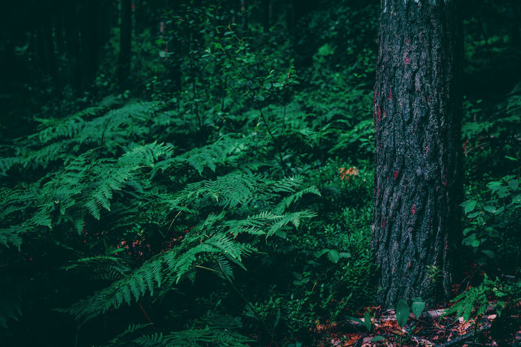 Exceptional Photographs Silhouette EyeEm Nature Lover Forestwalk Poland Tree Forest Tree Trunk Pinaceae Pine Tree Lush Foliage Close-up Green Color Pine Woodland Blooming Plant Life Leaf Vein Growing Evergreen Tree Young Plant