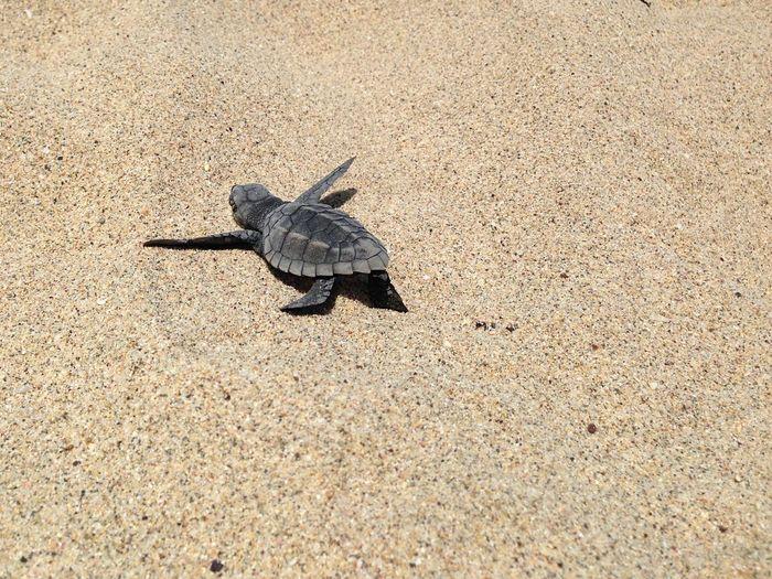 Tortuguita mexicana Puerto Vallarta Pacific Beach Turtle One Animal Reptile Animals In The Wild Nature Day Outdoors Tortoise Sand Animal Themes Animal Wildlife Sea Turtle No People
