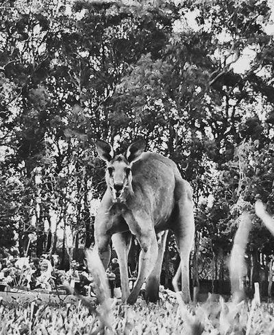 Aussie Kangaroo met this fella at the cemetery