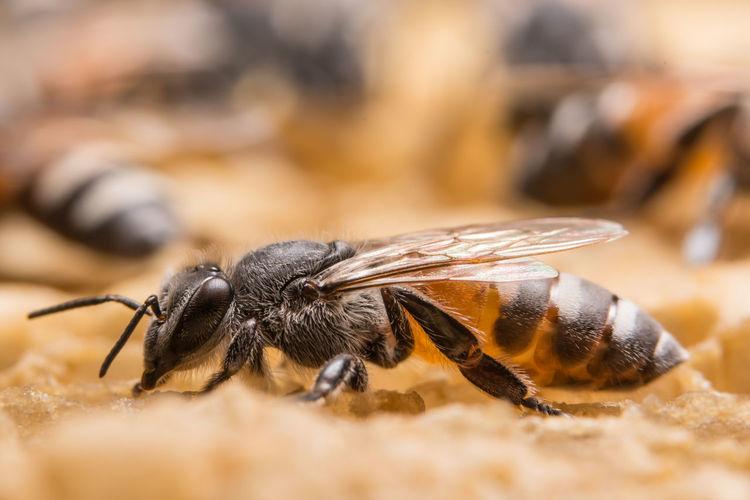 Close-up of honeybee on honeycomb
