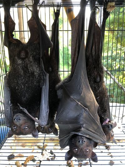 Bat Animal Animal Head  Animal Themes Animal Wildlife Animals In Captivity Animals In The Wild Bird Black Color Close-up Day Group Of Animals Hanging Herbivorous Mammal Nature No People Outdoors Pet Plant Three Animals Tourism Travel Destinations Tree Vertebrate