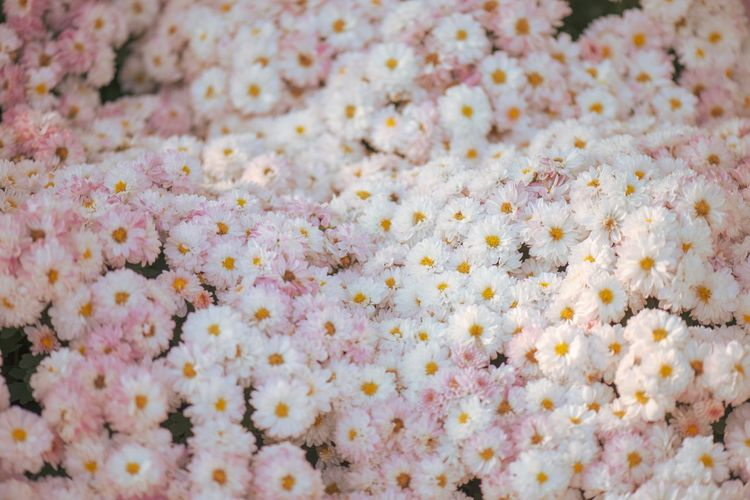 Flower Flower Flowering Plant Beauty In Nature Backgrounds Freshness Fragility Plant Full Frame Close-up Springtime White Color Blossom Nature Day Pink Color
