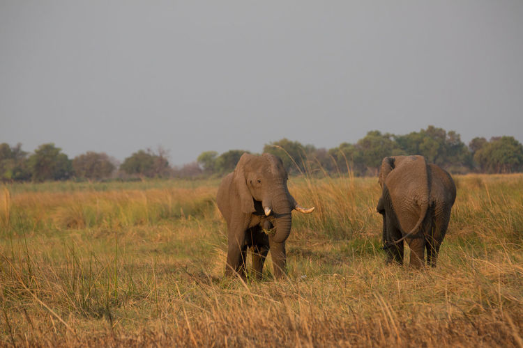 Elephants on grassy field against clear sky