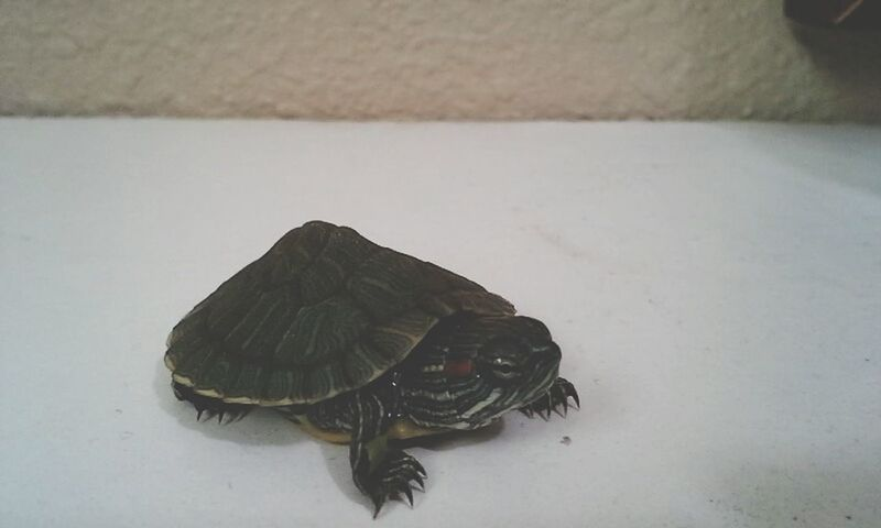 my new pet, his name is fred ^~^ My Pet :P  Turtles(: I Love My Turtle