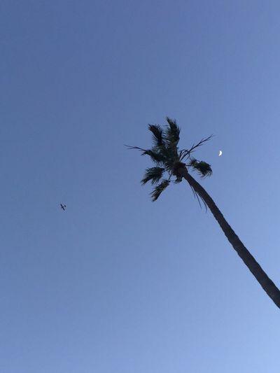 Plane Palm Tree