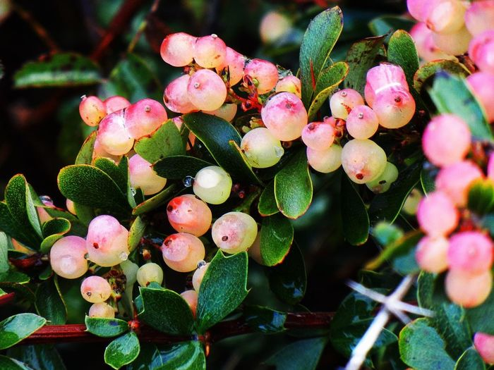 Pink berries Growth Plant Freshness Close-up Beauty In Nature No People Nature Day Plant Part Fruit Leaf Focus On Foreground Berry Fruit Pink Color
