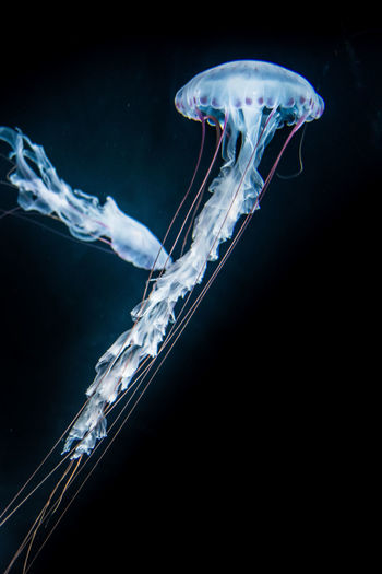 Close-up of jellyfish swimming in water against black background