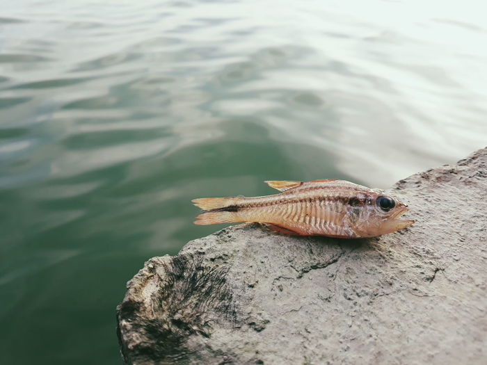 Close-up of deadfish on rock by sea