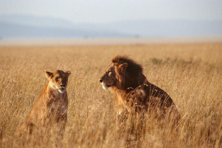Lion couple in sunset light in masai mara.