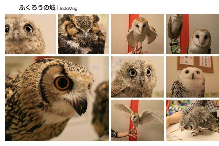 ふくろうカフェ ふくろうの城 フクロウ 梟 Owl Owl Cafe