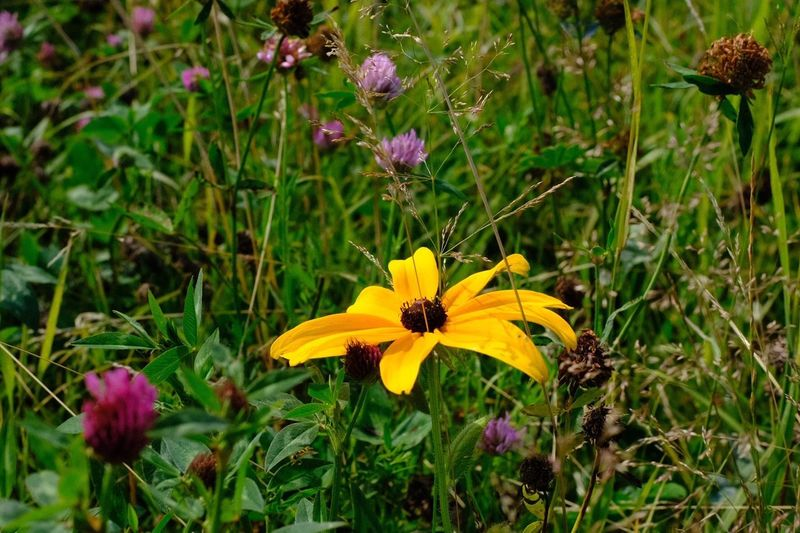 Flowering Plant Flower Fragility Freshness Vulnerability  Plant Petal Flower Head Focus On Foreground Field Land Beauty In Nature Yellow Close-up Green Color Nature