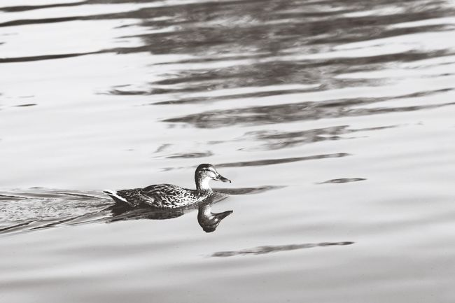 Nature Adventure Water Duck Mirror White Black