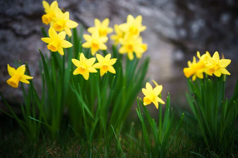 Flower Yellow Nature Freshness Beauty In Nature Fragility Growth Petal Plant No People Blooming Outdoors Day Flower Head Close-up Easter Spring Lent Lily Wild Daffodil Narcissus Pseudonarcissus Garden Grass Green Depth Of Field Bokeh
