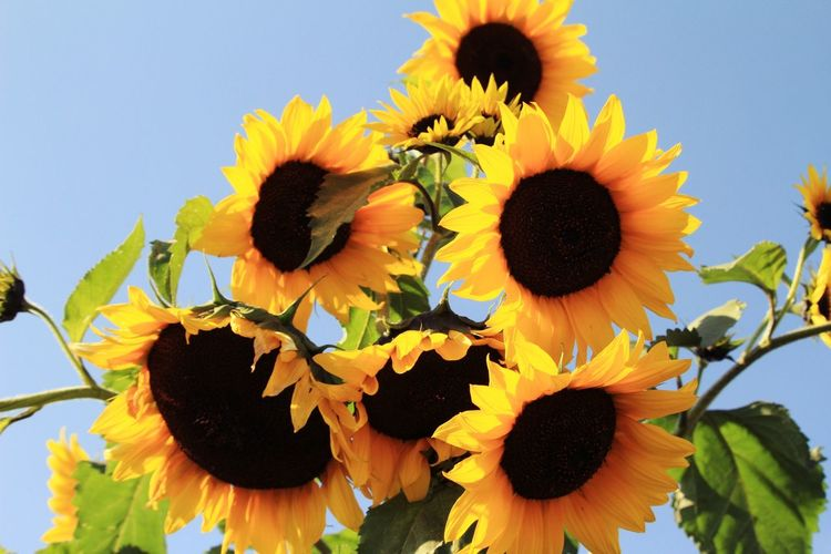 Close-up of fresh sunflowers against sky