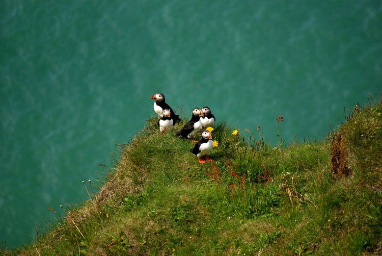 Flower Green Color Nature Grass Outdoors Day Birds🐦⛅ Bird Birds Bird Photography Iceland Puffin Puffin Puffins Atlantic Puffin Nesting Birds Animals EyeEmNewHere