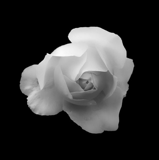 monochrome soft glowing romantic white rose on a black background Beauty In Nature Black Background Close-up Flower Flower Head Flowering Plant Fragility Freshness Indoors  Inflorescence Nature No People Petal Plant Rosé Rose - Flower Studio Shot Vulnerability  White Color