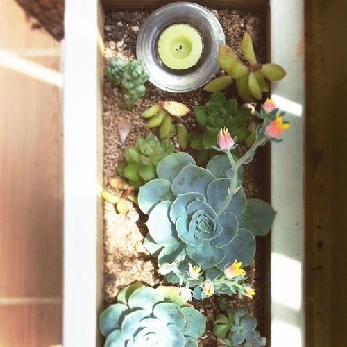 Diywoodplanter Woodplanter Succulent Echeveriasecunda