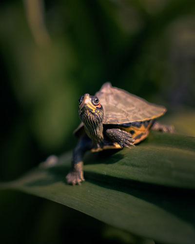 Small turtle walking slowly towards its destination