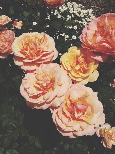 Roses EyeEm Nature Lover