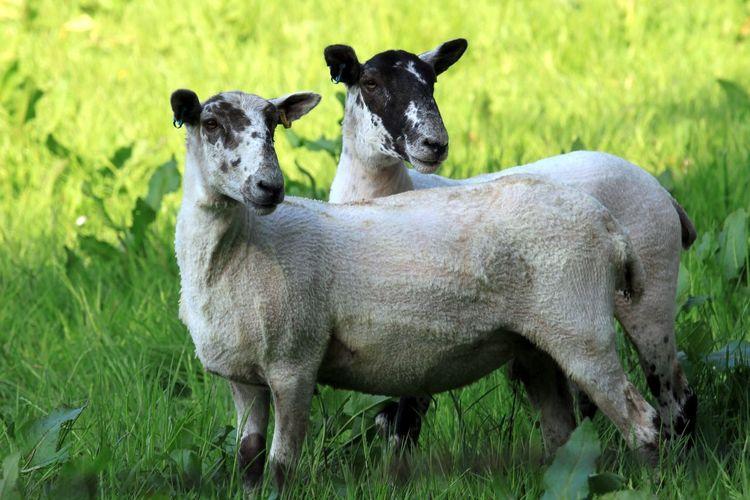 Side view of sheep grazing on grassy field