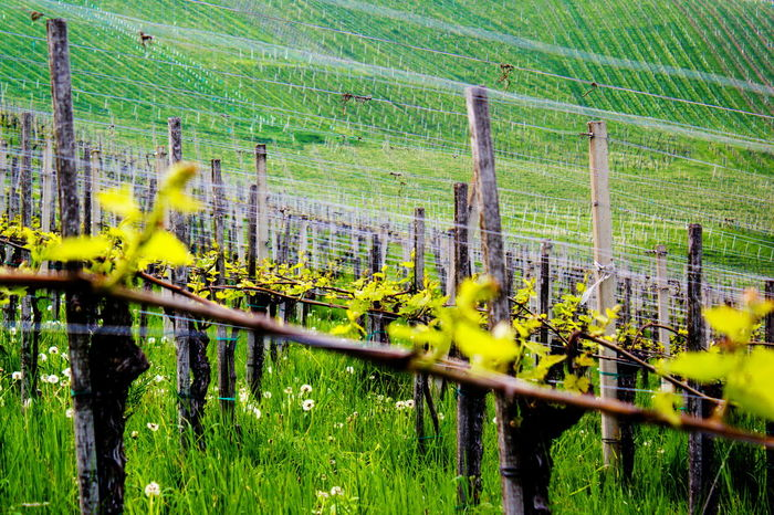 Agriculture Animal Themes Beauty In Nature Day Field Landscape Nature No People Outdoors Wine Grapes Winegrapes Winegrowing Wine Not