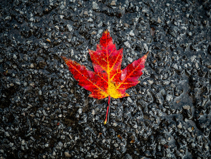 High angle view of orange maple leaves on road