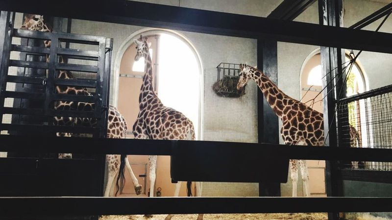 Giraffes Indoors  Animal Themes No People Day Londonzoo Giraffes