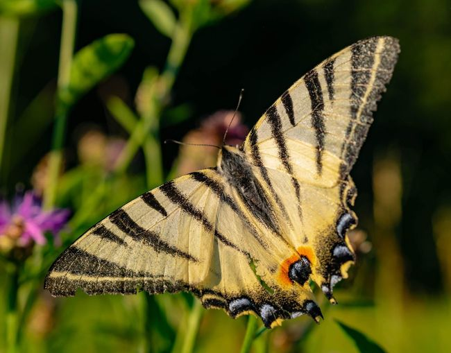 King of his realm. EyeEmNewHere Nature Photography Nature Flower Perching Spread Wings Butterfly - Insect Full Length Insect Flower Head Close-up Animal Themes Plant Butterfly Animal Wing Winged Animal Markings Animal Antenna Pollination Wild Animal