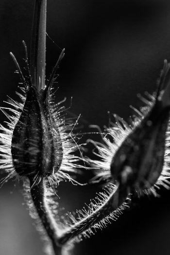 Extreme macro shot on fluffy fower Awesome Beauty In Nature Black And White Bokeh Close-up Couple Dead Ringers Drops Of Water Extreme Fluffy Forever Fragility Growth Macro Maximum Closeness Micro World  Nature Needles Pair Plant Sharp Sources Stunning Together Wattle