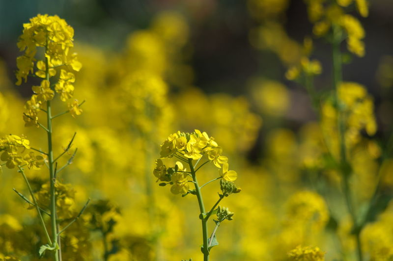 Flower Flowering Plant Yellow Beauty In Nature Plant Freshness Growth Fragility Vulnerability  Field Oilseed Rape Nature Agriculture Close-up Day Crop  Focus On Foreground No People Land Mustard Plant Outdoors Springtime Flower Head