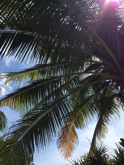 Palm Tree Tropical Climate Tree Sky Palm Leaf Beauty In Nature Nature Phuket Thailand Tranquility Leaf Growth No People Low Angle View Sunlight Coconut Palm Tree Outdoors Day Plant Part Scenics - Nature Green Color