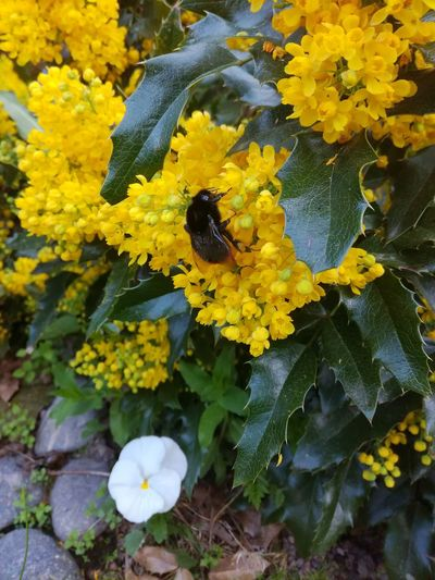 Yellow Flower Plant Growth Flowering Plant Beauty In Nature Animal Wildlife Insect Animal Themes Flower Head Close-up Nature Bee Honey Bee Mahonia Flowers Mahonia Aquifolium Greenandyellow Springtime Garden Photography