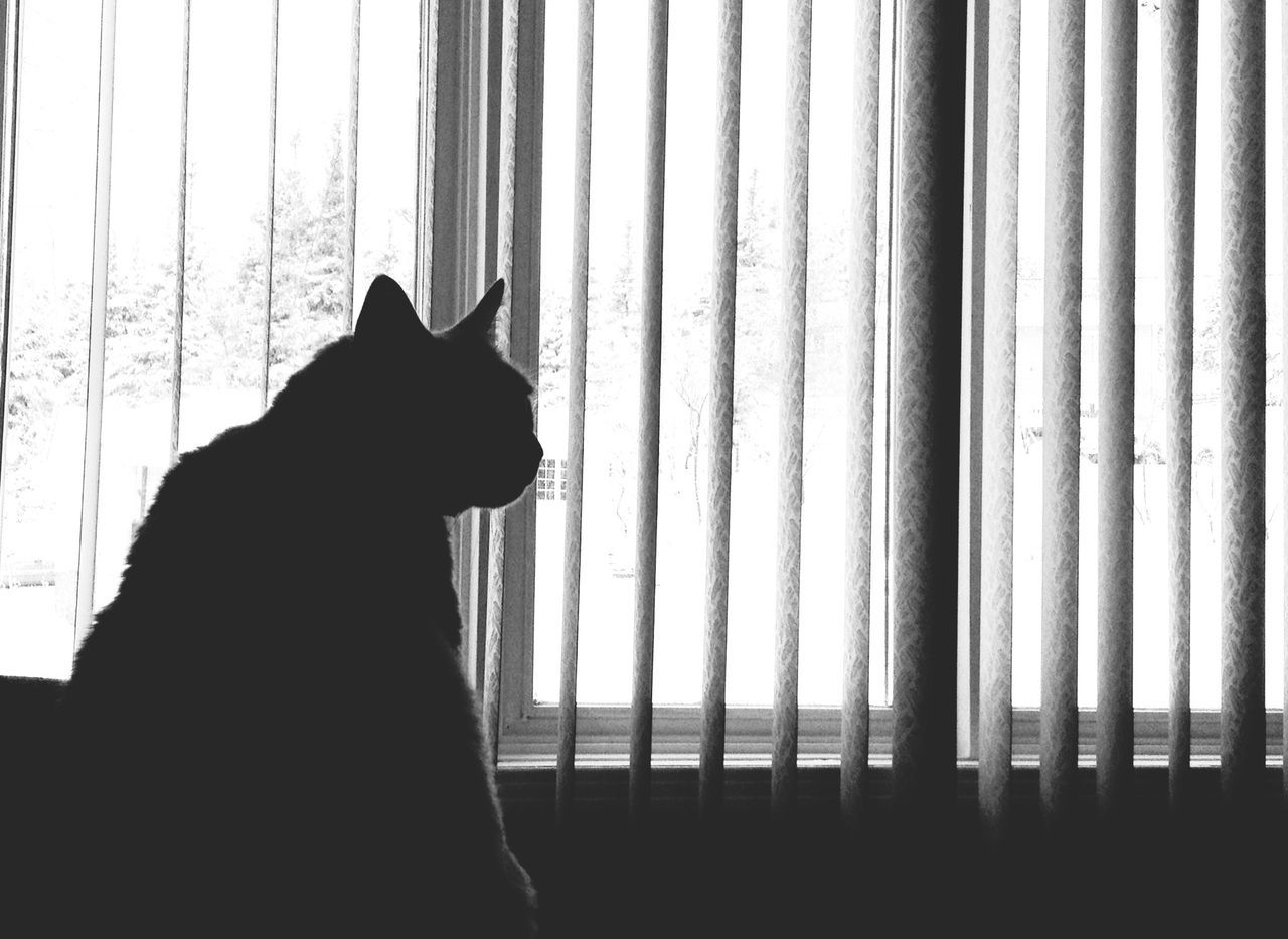 curtain, window, domestic cat, pets, feline, drapes, domestic animals, one animal, mammal, animal themes, day, looking through window, blinds, no people, silhouette, indoors, nature, security bar, close-up, sky
