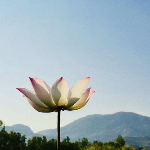 Close-up of lotus flower against clear sky
