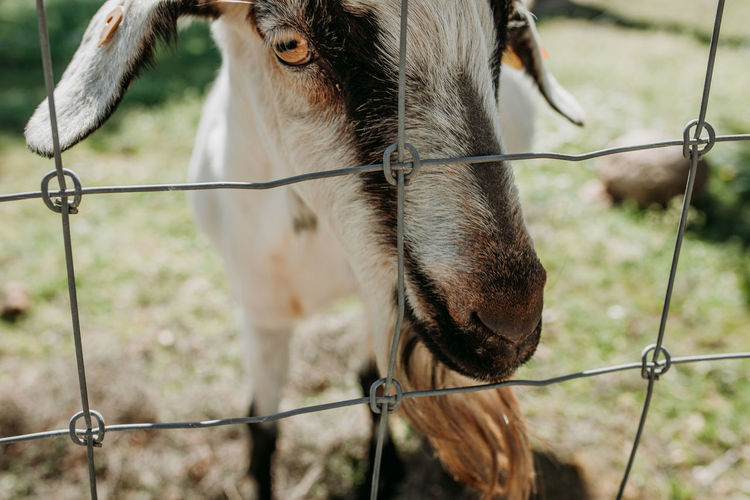 Goat Goats Goat Life Safety Focus On Foreground Mammal Animal Themes Fence Animal Domestic Animals Barrier Boundary Livestock Pets Domestic One Animal Herbivorous Animal Head  Protection Security Wire Day Vertebrate Outdoors Metal Animal Body Part No People Farm Farm Life Agriculture