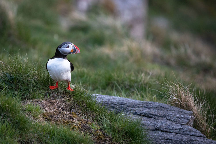 Puffin perching on grass