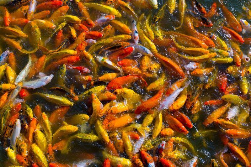 Detail shot of koi fish in water