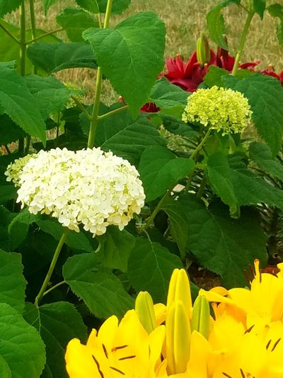 Hydrangea Flower Hydrangea Lilies Lilies Of Many Colors Flowers Yellow Lillies Gardens Garden Flowers Blossom Red Lilies Lily Garden Garden Photography Flower Head Flower Leaf Yellow Petal Close-up Green Color Plant EyeEmNewHere