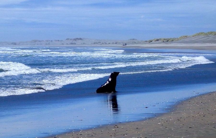Nothing better than finding a deserted beach and having a wild fur seal as your only company... Wildlife Photography Wildlife Wildlife & Nature Blue Wave Sea Beach Remote Seal Oceam Seascape Fur Seal New Zealand Copy Space Nature_collection Outdoors Outdoor Photography Nature Horizon Over Water Coastline