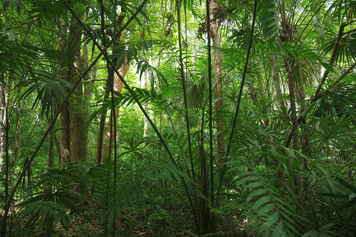 Jungle impression - Yaxha - Guatemala Backgrounds Beauty In Nature Day Forest Forest Photography Freshness Green Color Growth Jungle Jungle Impression Jungle Plants Lush - Description Nature Nature Nature Photography No People Outdoors Palm Tree Tree