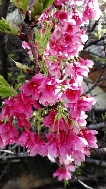 Flower Pink Color Fragility Beauty In Nature Nature Growth No People Freshness Day Outdoors Petal Close-up Springtime Flower Head Branch Tree