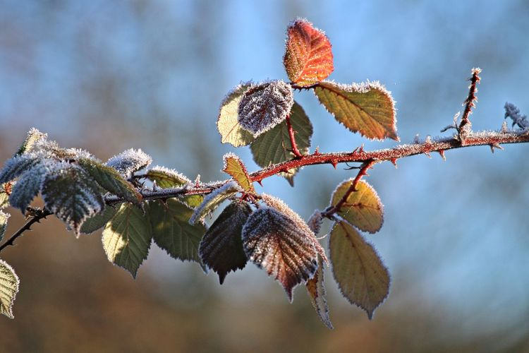 Focus On Foreground Close-up Twig Plant Part Leaf Branch Beauty In Nature Winter Cold Temperature Vulnerability  Frost Ice Nature Bokeh Winter Wintertime Frosty Mornings Leaves Frozen Nature Frozen Nature_collection Nature Photography Beautiful Nature Scenics - Nature Cold Days