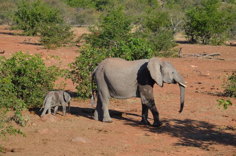 Botswana Scott